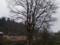Topkapning af bøgetræ Brovst