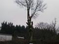 Topkapning bøgetræ