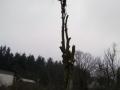 Topkapning af bøgetræ