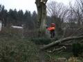Topkapning/fældning af bøgetræ