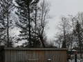 Topkapning af stort piletræ, Fjerritslev.