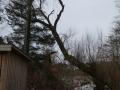 Topkapning af stort piletræ, Fjerritslev
