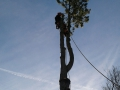 Fyrtræ fældes i Klitgård