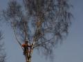 Topkapning af birk