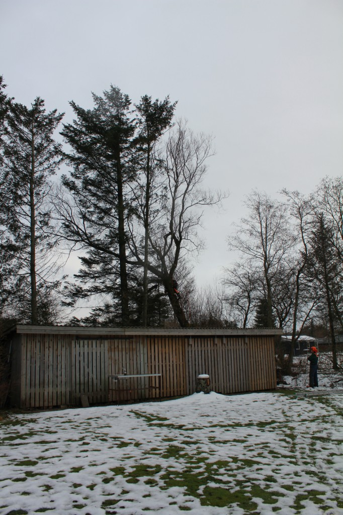 Fældning af piltræ tæt på bygning