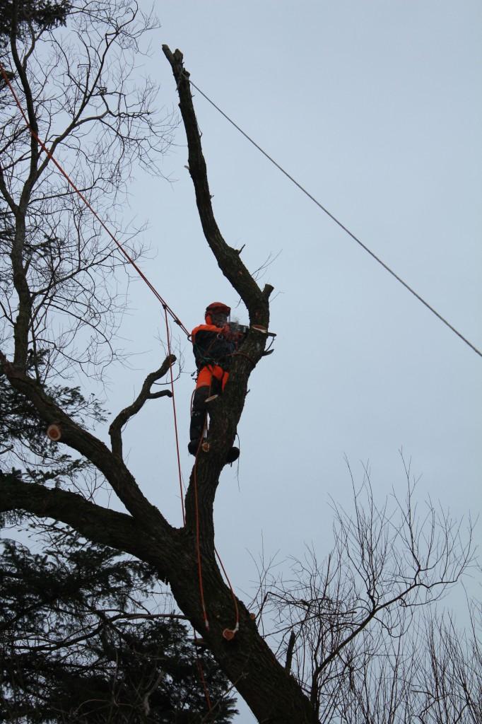 Fældning af stort piletræ