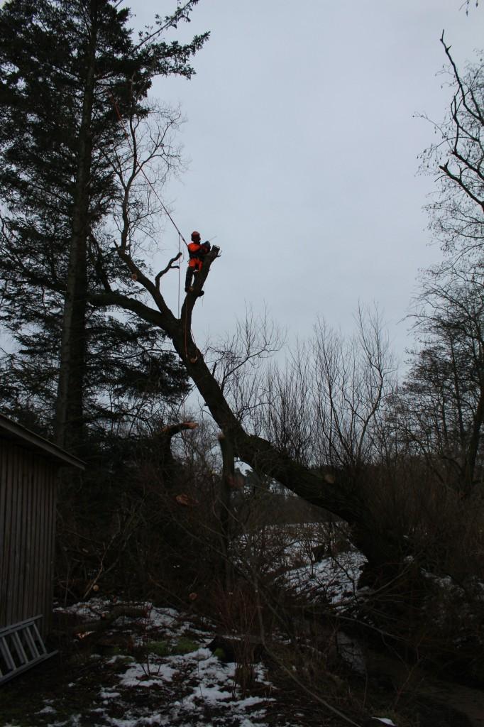 Fældning af piletræ i Fjerritslev