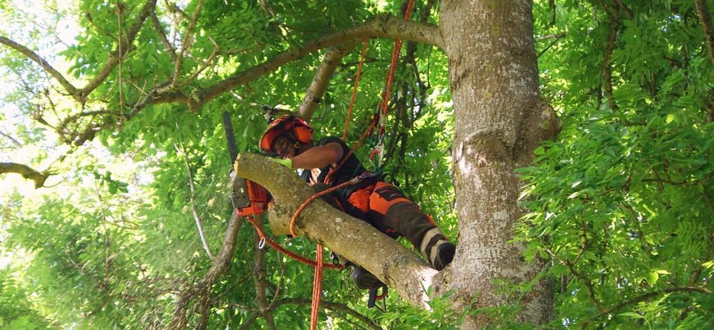 Topkapning, træfældning,tree removal
