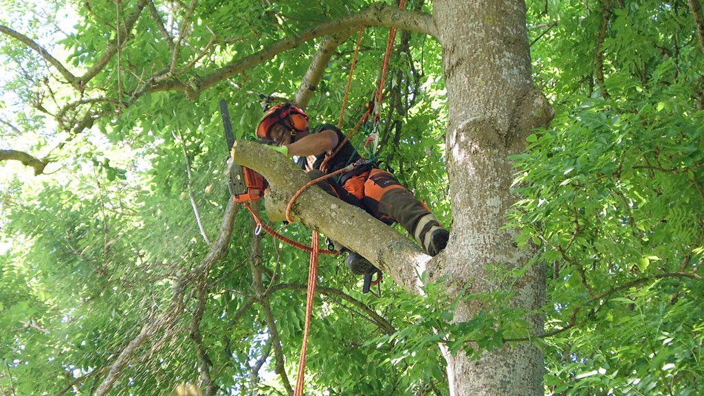 Arborist, topping a ash.